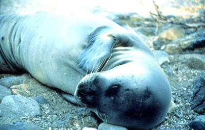 Seal_theodoros_fs